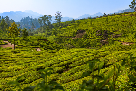 Tea plantation at hilly station in Munnar in India