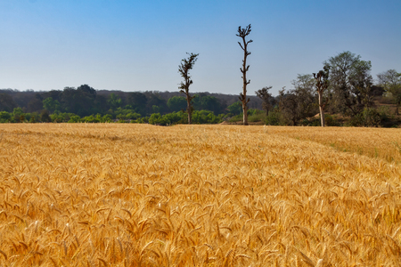 Field of golden color wheat with blue sky and trees
