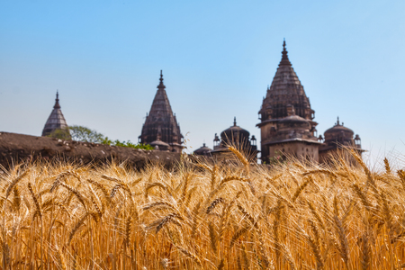 Golden ears of wheat at an Indian field with old Indian towers
