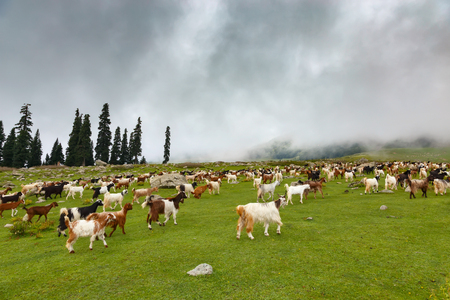 Many mountain goats walking at green meadow