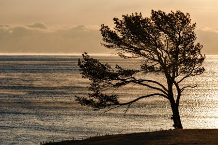 Pine tree at the shore of Baikal lake in December
