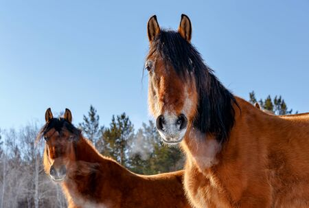 Two red horses gazing in the camera on a cold winter day with steam coming from their nose in Russia