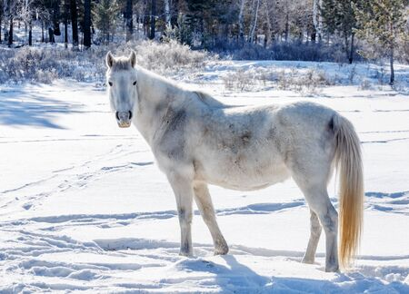 White horse in wild conditions in winter in Russian forest