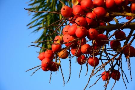 Ripe Betel Nut or Areca Nut Palm on Tree