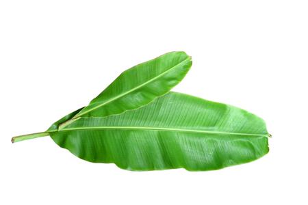 banana leaf: Fresh Banana Leaf