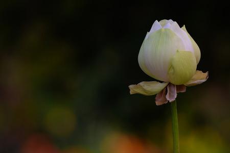 The Beautiful Lotus Flower