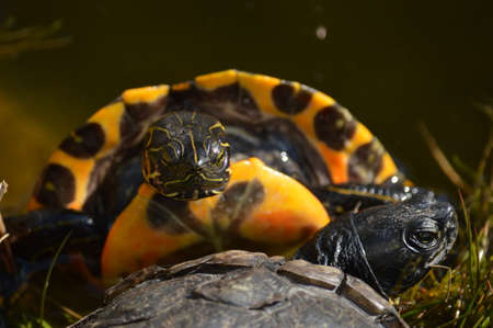 wooing: turtle wooing his bride Stock Photo