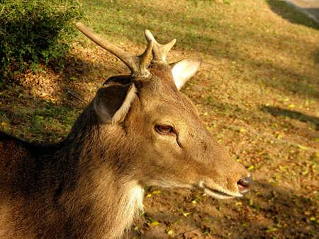 Yong Deer Stock Photo