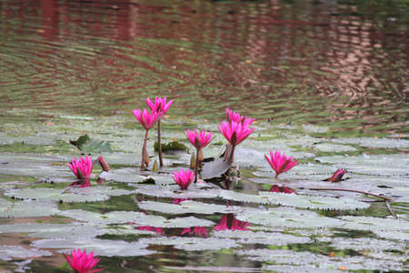 Pink Lotus blooming on pond