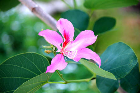 Purple Bauhinia flowers Stock Photo