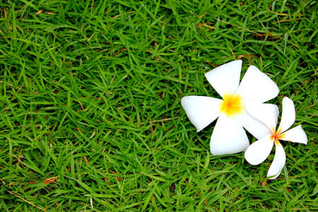 Frangipani flowers fall on grass