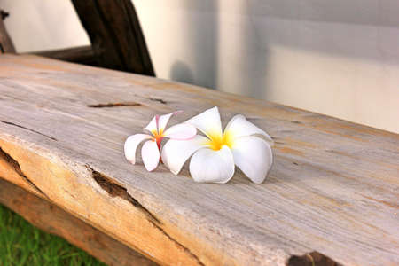 Frangipani flowers fall on wooden chair