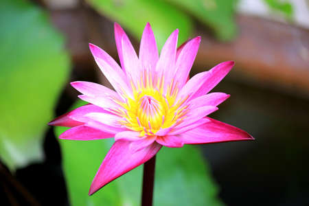 waterlilly: Pink Waterlilly bloom