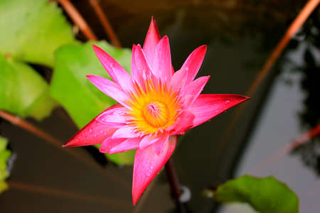 Pink Waterlilly bloom