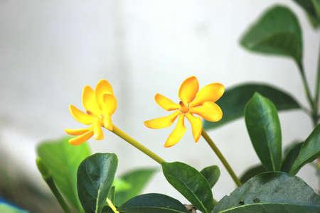 노란 치자 꽃, 치자는 Wallich을 carinata