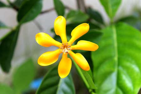 Yellow  Gardenia Flower, Gardenia carinata Wallich photo