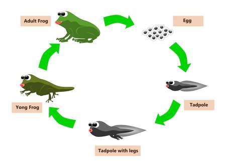 Frog levenscyclus Stock Illustratie