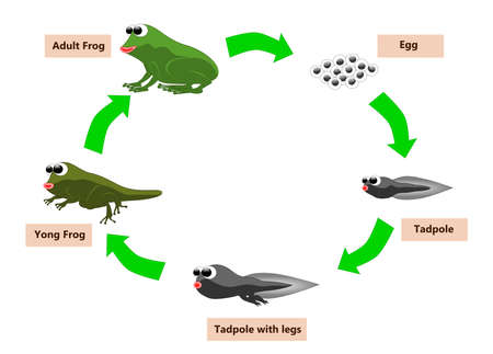 toad: Frog life cycle