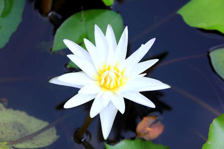 White Waterlilly bloom