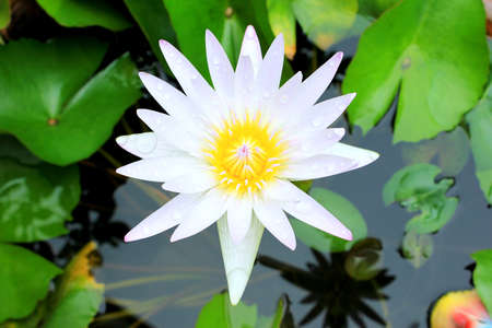 waterlilly: White Waterlilly bloom
