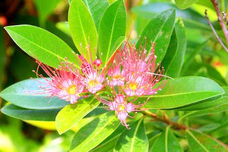 레드 골든 펜다 꽃 레드 Xanthostemon Chrysanthus 꽃