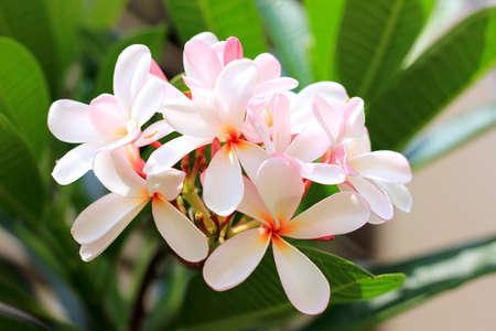 핑크 프랜지 페니 꽃