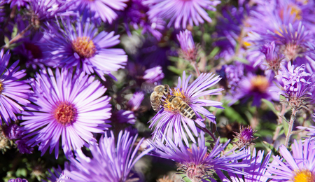 Bees collects honey from flowers of Aster. Photographed in a garden in the fall of 2014 years. photo