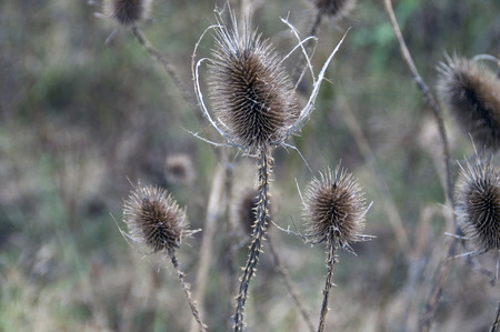 weerzinwekkend: Droge distel in het veld tart het najaar en de komende winter.