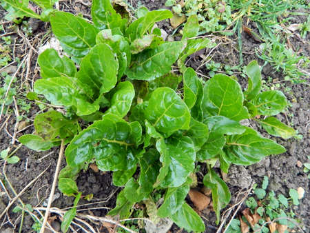Swiss chard growing in the garden in late autumn. photo