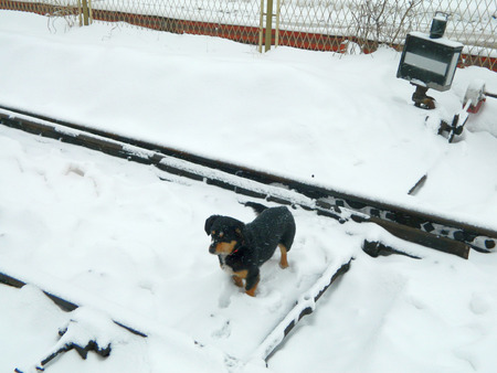 turnouts: Homemade dog mongrel walking on snow and habitat of railway workers.