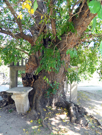 centenarian: Tree of more than one hundred years old mulberry in the village and town traditional gathering of villagers. Stock Photo