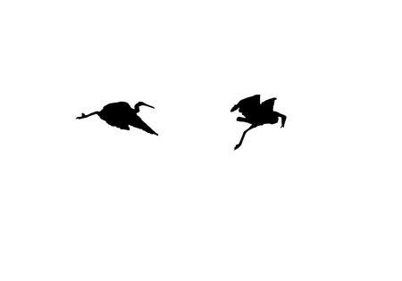 water birds: Silhouette water birds heron flying over across the pond.