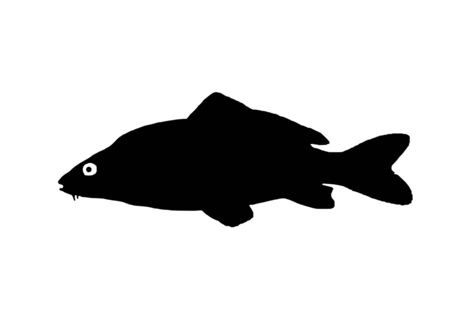 Silhouette freshwater fish carp which lives in lakes and slow rivers.