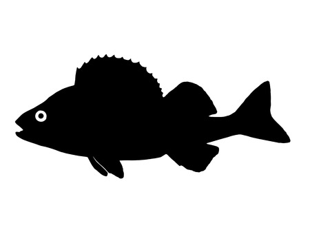 perch: The silhouette of fish predators Perch freshwater fish that lives in clear lakes and rivers.