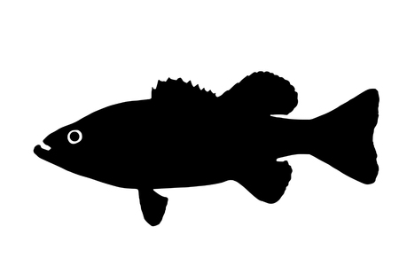 The silhouette of fish predators Bass freshwater fish that lives in clear lakes and rivers.