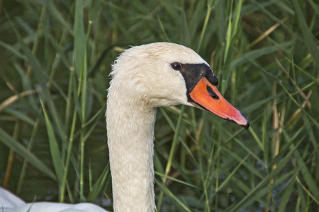 stock photography: Head swan resting in reeds on the lake.