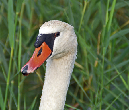 stock photos: Head swan resting in reeds on the lake.