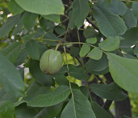 stock photography: Walnut in shell with fruit and leaves. Stock Photo