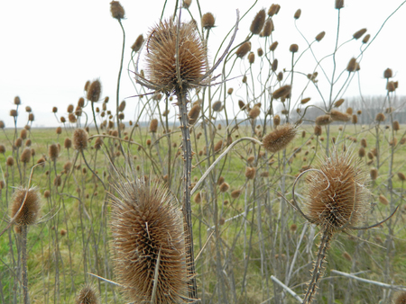 plant nature: Dry thistle in the field defies the autumn and the coming winter.