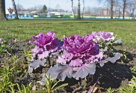 flowering kale: Ornamental cabbage in bloom in the winter.