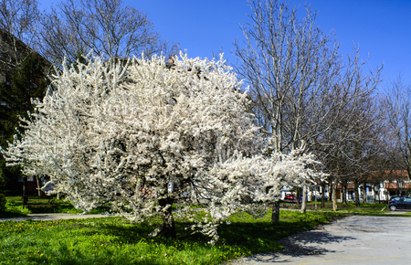 bathed: Blossoming fruit tree in spring bathed in sunlight. Stock Photo