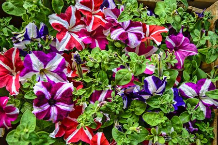 stock photographs: Beautiful decorative plants flower Petunia waiting on customers. Stock Photo