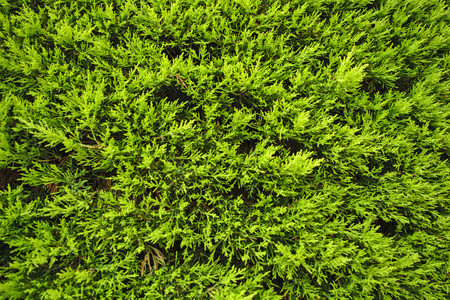 partitions: Beautiful hedges formed of coniferous vegetation Stock Photo