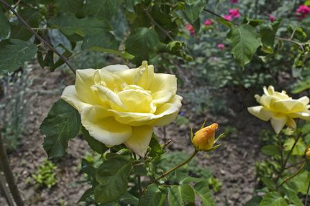 celos: Hermosas rosas amarillas que crecen en jardines caseros.