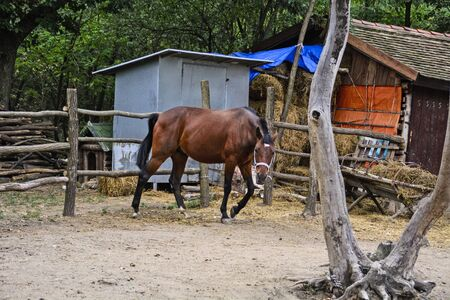 fenced in: Young beautiful mare is moving in a fenced area.