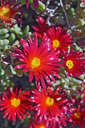 drought    resistant plant: Beautiful cactus plant of the genus Delosperma bloom in defying the scorching summer sun.