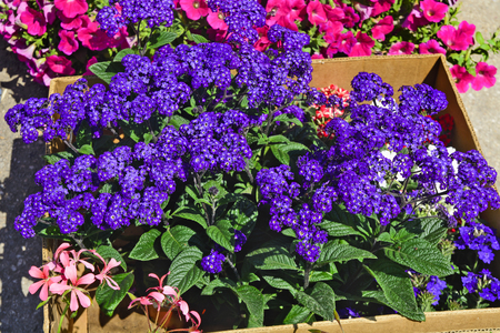 Beautiful, fragrant bouquet Heliotropium arborescens  flowers at the market waiting for customers. Reklamní fotografie