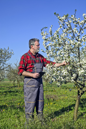 coveralls: Farmer analyzes flower cherry orchard and using a tablet device.