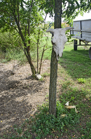 Skull cattle placed in a tree in the yard of an agricultural ranch.