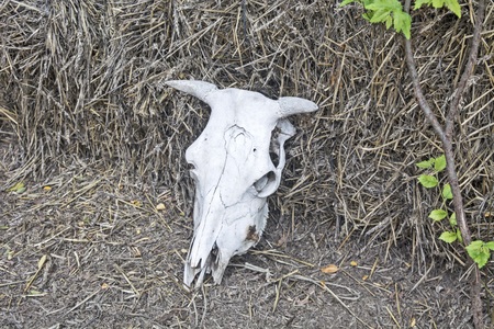 Skulls of cattle in the yard of agricultural ranch. 版權商用圖片